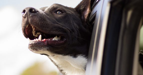 Dog care, travel advice, dogs in cars