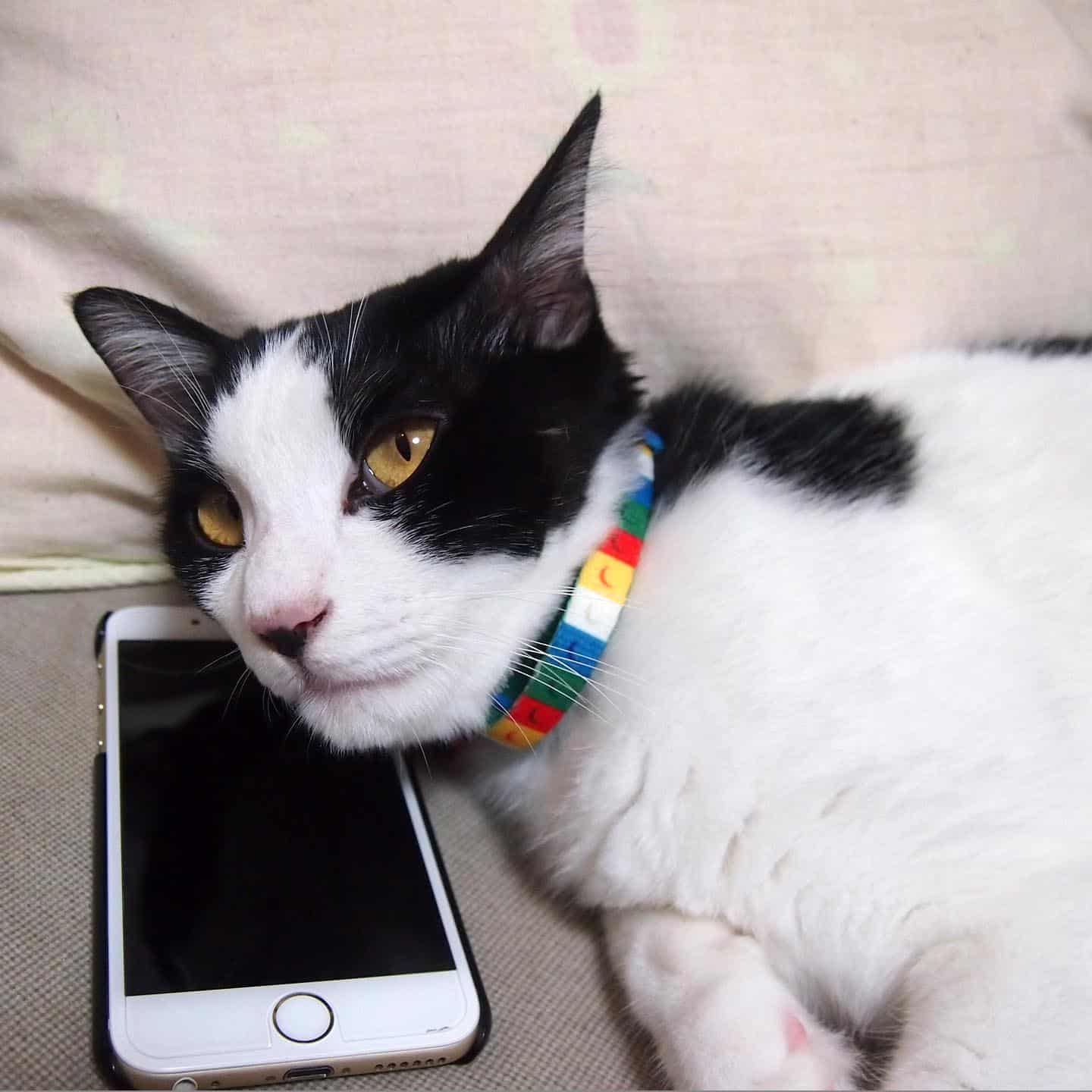 Black and white cat lying on iPhone. Affordable vet clinic Adelaide