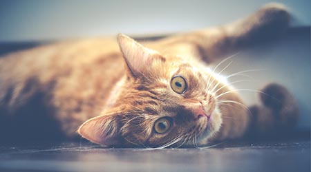 Caring for your cat. Ginger cat lying on floor