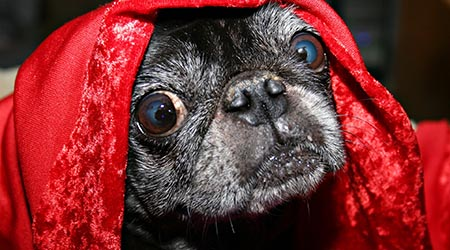 Looking after your dog. Funny image of dog under red blanket
