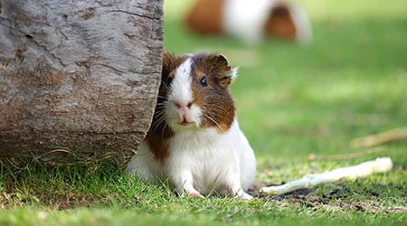 Vet specialising in small pets. Guinea Pig leaning against log