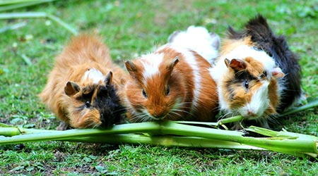 Vet specailising in small pets. Guinea pigs eating