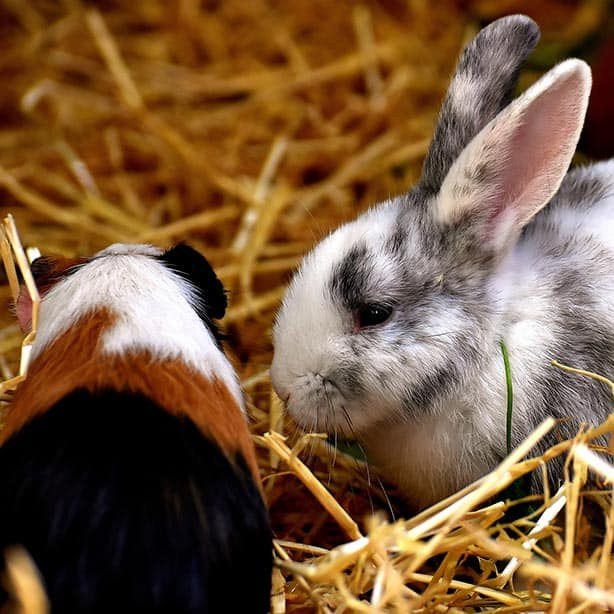 Small pet care. Rabbit and guinea pig