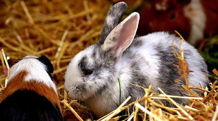Rabbit Guinea Pig