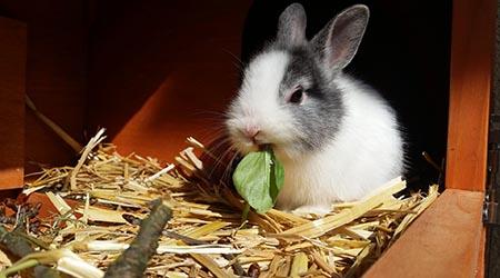 Vet specialising in rabbit care. Fluffy rabbit eating lettuce leaf