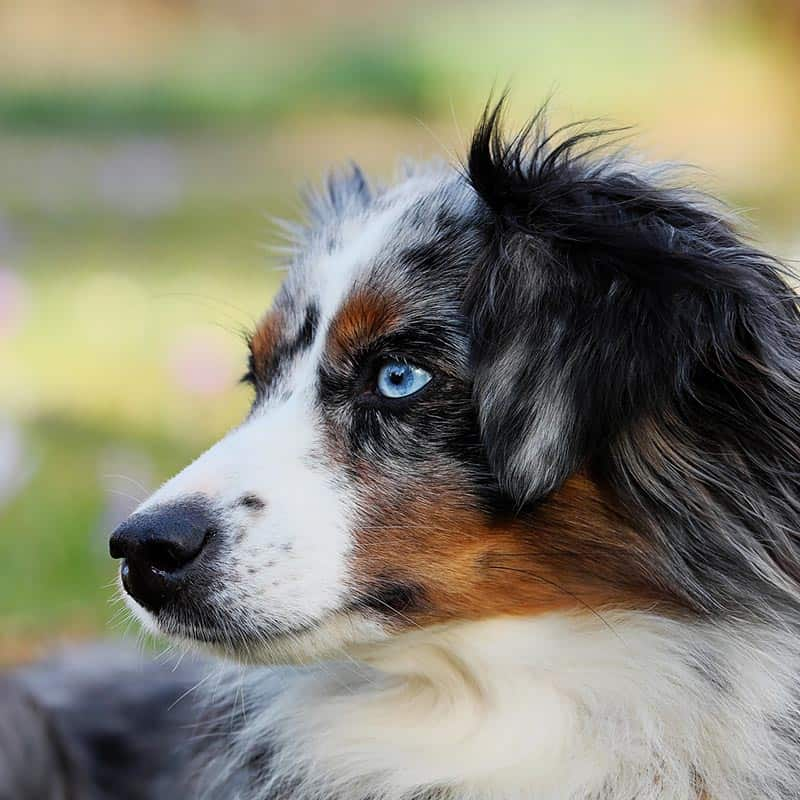 Australian Shepherd dog. Affordable vet clinic in Adelaide