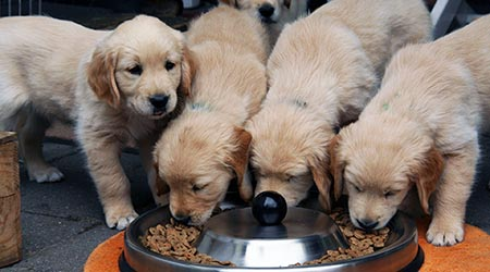 Looking after your dog's food and diet. Golden Retriever puppies at food bowl