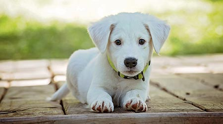 Looking after your dog. Cute labrador puppy