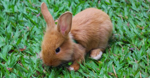Cute brown rabbit on lawn. Litter training for rabbits is possible!