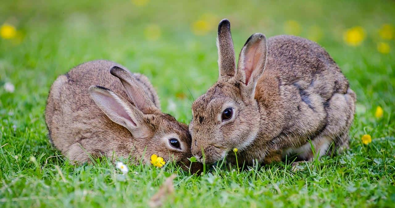 Two rabbits on grass. Calicivirus and myxomatosis in rabbits can cause death.