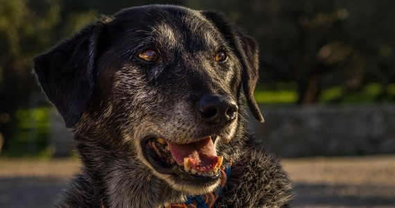 Old dog, senior dog, arthritis dog