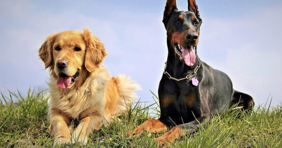 DCM dogs
